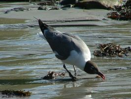 Laughing Gull Drinking by SlateGray