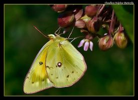 Cloudless Sulphur Butterfly 08 by boron