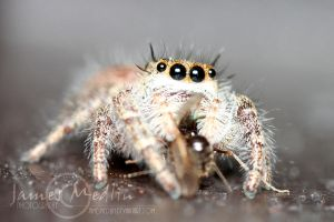 jumping spider 37 by JamesMedlin