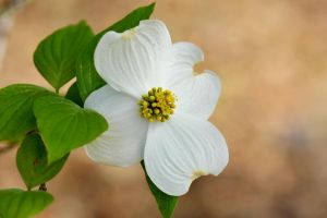 Dogwood by lawout16