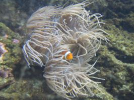 Clownfish by Cam-s-creations