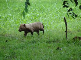 OKCZ July 9: Bush Dog 1 by FamilyCanidae
