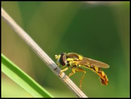 Hoverfly by Pildik