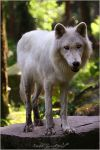 .:White Fluffy:. by WhiteSpiritWolf