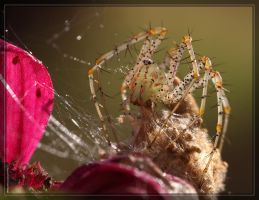 Green Lynx Spider 40D0028873 by Cristian-M