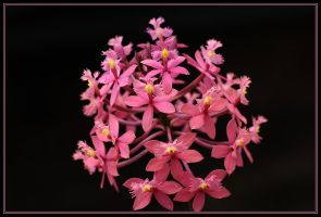 Pink Crucifix Orchid.. by Firey-Sunset