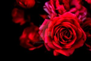 Red Roses Close up by mfuld