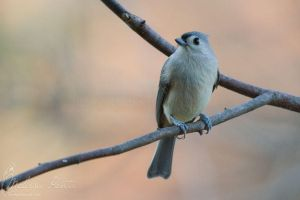 Titmouse by mydigitalmind