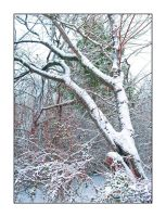 Snow's tree. L1010235, with story by harrietsfriend