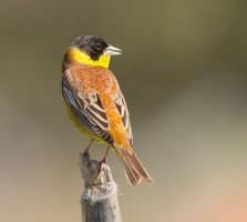 The colours of the sunset - Black-headed Bunting by Jamie-MacArthur