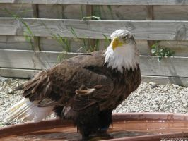 Bath time for eagle by Momotte2
