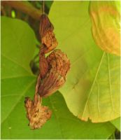 Aristolochia macrophylla All dried up by Kattvinge