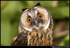 LONG EARED OWL... by dogansoysal