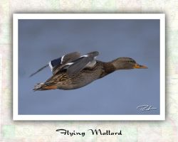 Flying Mallard by Merlinstouch