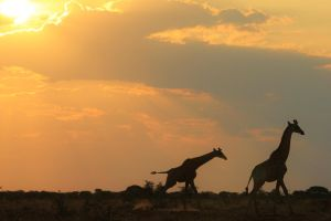 Giraffe Run of Freedom and Color - African Wild by LivingWild