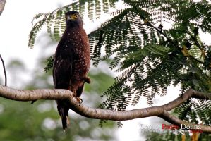 Philippine Serpent Eagle by DVance