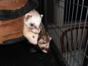 Cerberus the three headed ferret