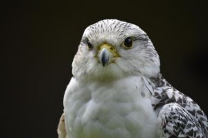 Falcon 4 by Trigger-Photography