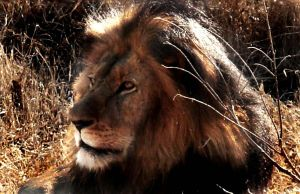 lion south africa by perupowa