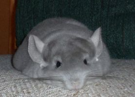 Chilli the Chinchilla 36 by Drazhar24