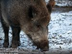 Wild Boar in the snow - Germany 2017 by TheFunnySpider