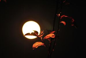 moonlit red maple by Tommy8250