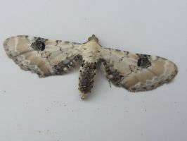 Lime-speck Pug (Eupithecia centaureata) Front Door by SrTw