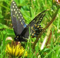 Spicebush Swallowtail by LovingLivingLife