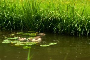 Egyptian goose and duckling by steppelandstock