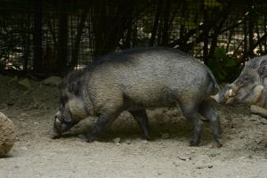 Warthog by Scrap-Photo