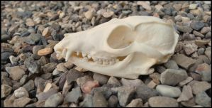 Bat-eared Fox Skull by Lupen202