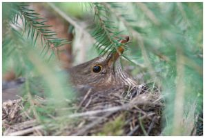 Mother blackbird II by Malgorzata-Skibinska