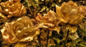 Roses of Gold .. by TheGlobalVariety