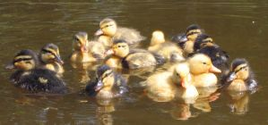 A Dozen of Duckies by roes
