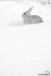 A Portrait Of A Cottontail by kkart