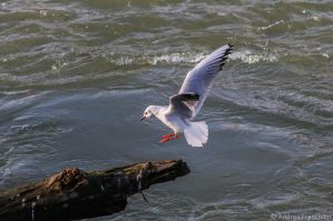 Seagull landing by AndreaMetallurgico