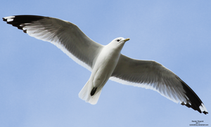 Fly Gull, Fly by Renathory