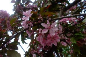 Crab apple blossoms by EruwaedhielElleth