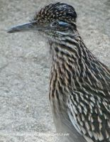 NC Zoo - greater roadrunner by Kimi-Parks