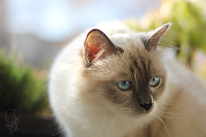 Loki my male birman cat by evaYabai