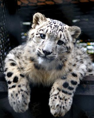 Young Snow Leopard by Vertor