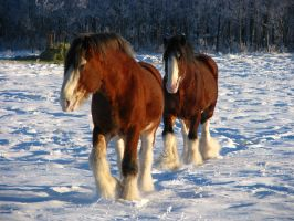 Clydesdale Geldings 4 by okbrightstar-stock