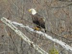 American Bald Eagle by DoctorTonyStarkWho