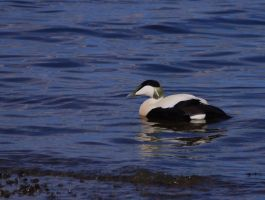 Male Eider Duck by Blue-eyed-Kelpie