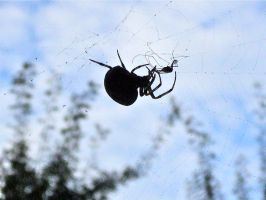 2010Aug28 - Corpulent spider by Dreamplayer