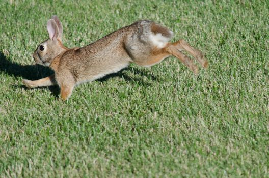 Running Rabbit Stock by SabrinaFranek