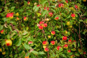Apple tree stock by EK-StockPhotos