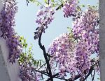 wisteria by Sophie-Y