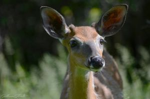 Young deer smiling by GuillaumGibault