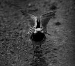 Pied Wagtail by little--grasshopper